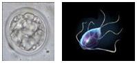 Protozoa: Coccidia & Giardia